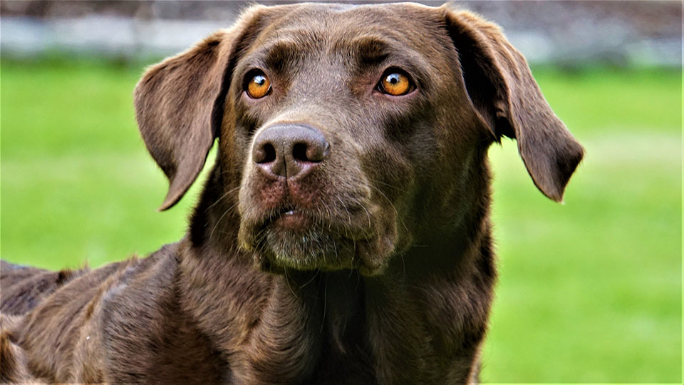 Perrito raza labrador