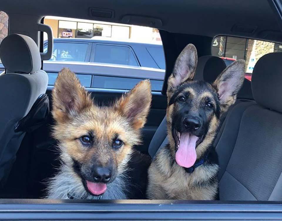 Perritos en el auto