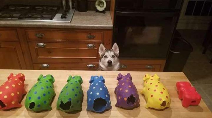 Perro arranca la cola a todos sus cerdos de juguete