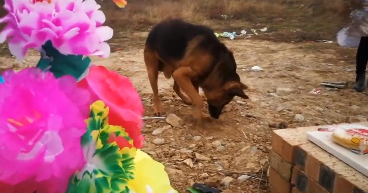 Perro desconsolado intenta cavar en la tumba de su dueño