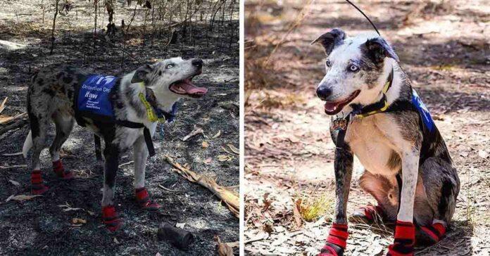 Perro héroe salva koalas heridos en incendios forestales de Australia