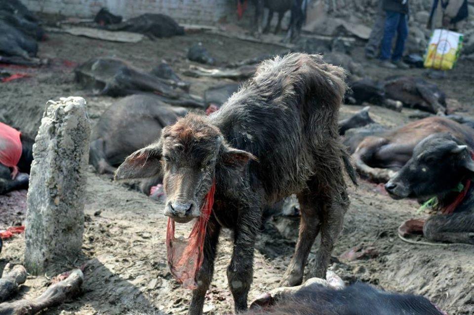Animal en peligro por festival cruel en Nepal