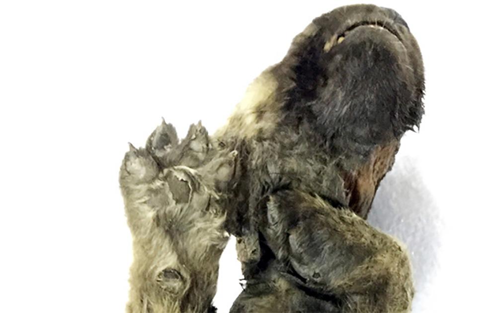 Animal encontrado congelado de 18000 años atrás