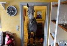 Caballo entra en la casa de un extraño después de escapar de su casa