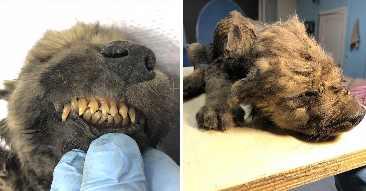 Cachorro de hace 18000 años fue encontrado congelado en Siberia