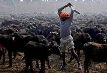 Comienza el festival de sacrificio de animales mas grande del mundo