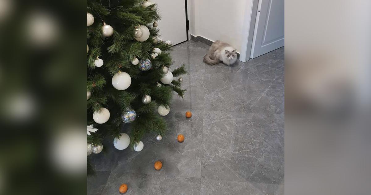 Gato no destruirá el árbol de Navidad por su miedo a las mandarinas