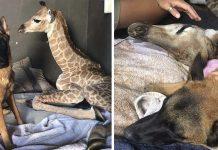 Jirafa bebé abandonado muere al lado de su mejor amigo