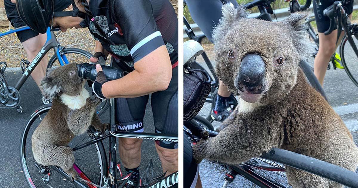 Koala sediento pide agua a ciclistas