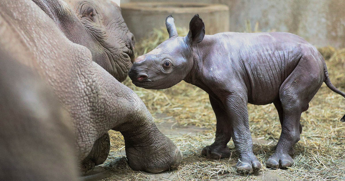 Nace rinoceronte negro en un zoológico