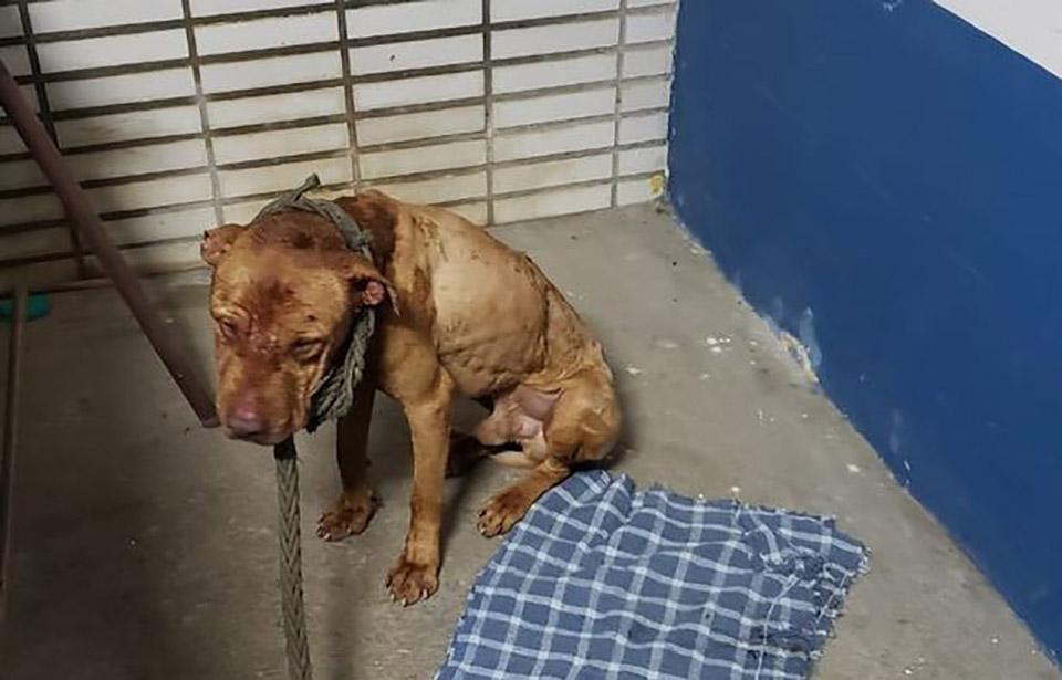 Perrito rescatado de pelea de perros