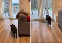 Perro y cerdo tienen una cita para jugar cada semana