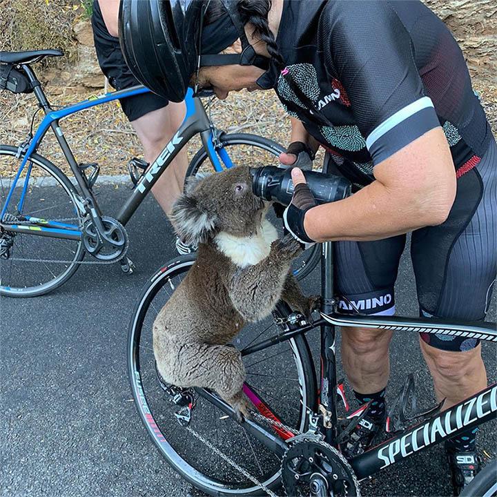 koala bebe sin parar