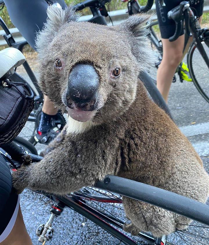 koala se sube a bicicleta