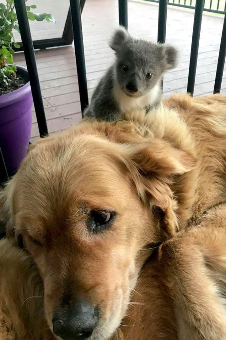 Asha y bebé koala