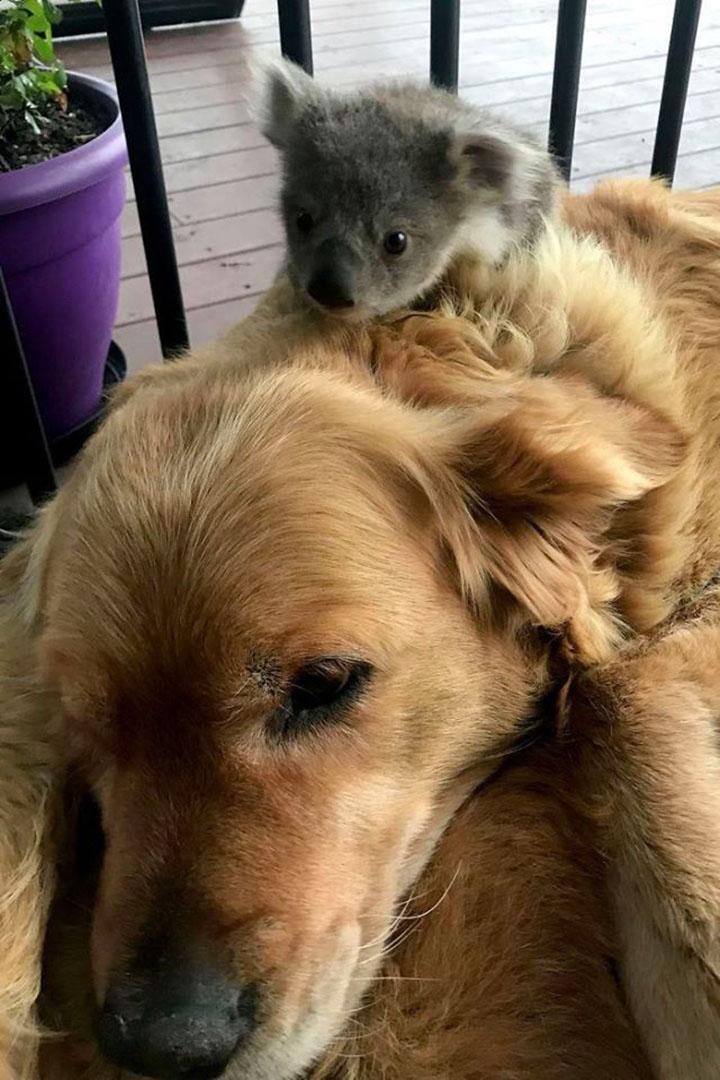 Bebé koala encima de asha