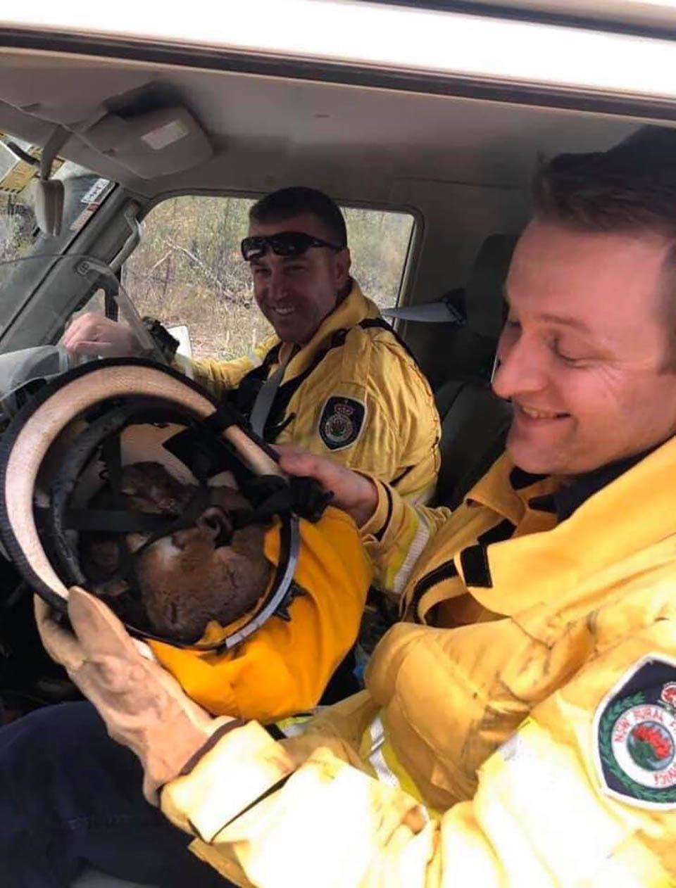 Bomberos rescatan animales por los incendios en Australia