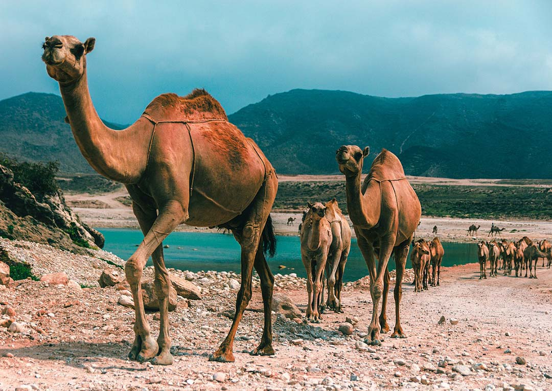 Camellos buscan agua