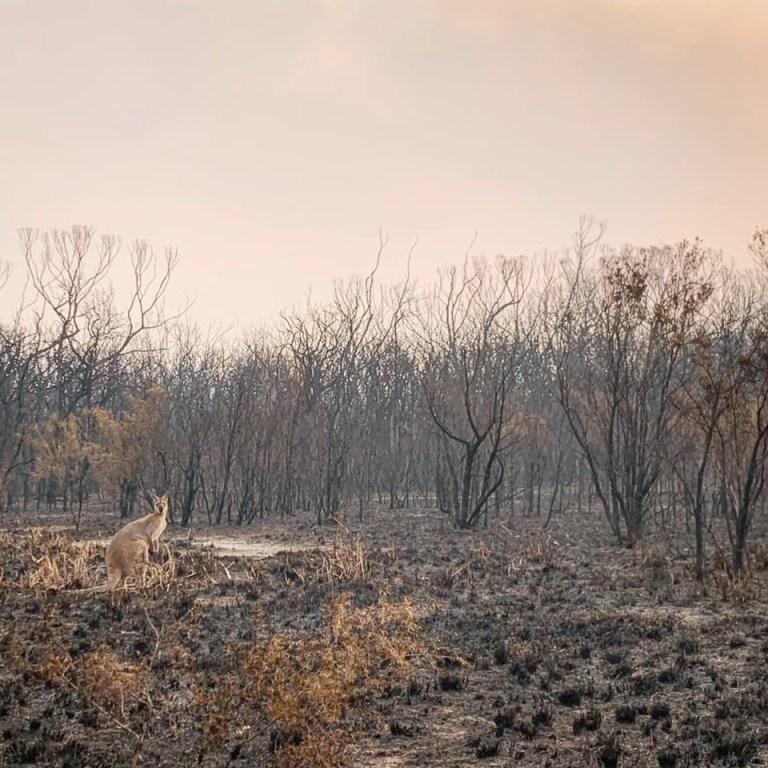 Canguro vegetación quemada