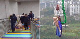 Cerdo es obligado a realizar puenting en parque temático de china