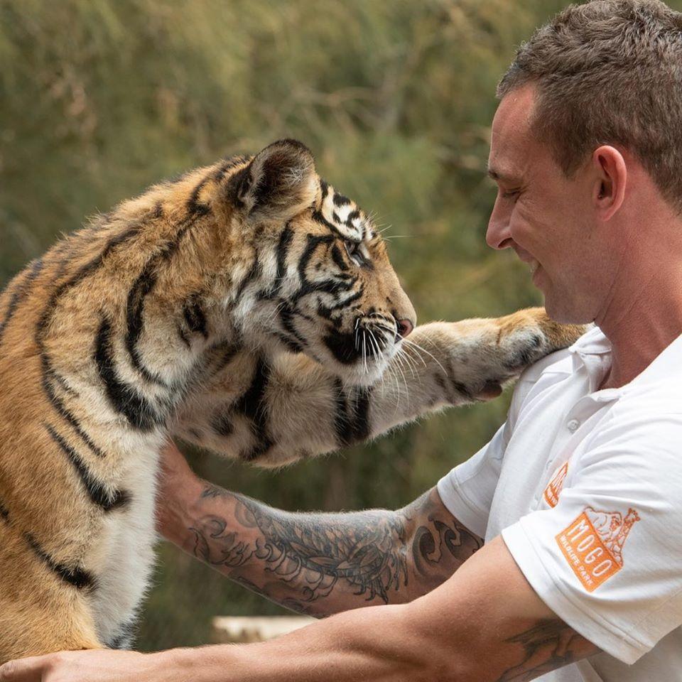 Chad y tigre