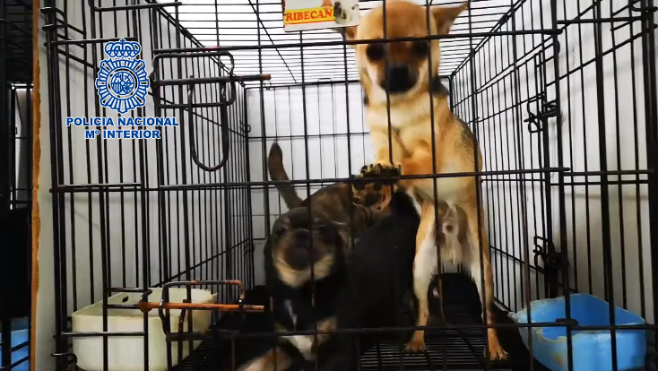 Chihuahua contentos rescatados