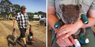 Dueño de parque de vida silvestre protege a mas de 100 koalas heridos