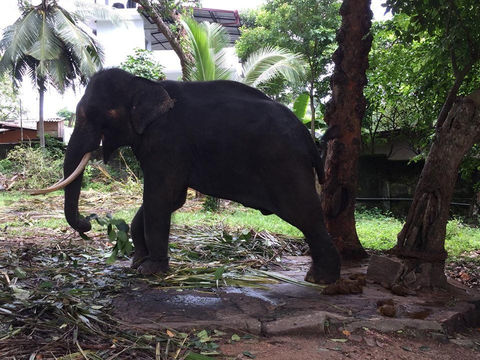 Elefante torturado encadenado
