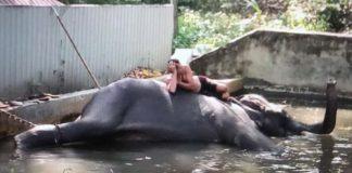 Elefante es azotado en templo budista en Sri Lanka