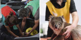 Escuela se convirtió en un hospital para koalas heridos por los incendios