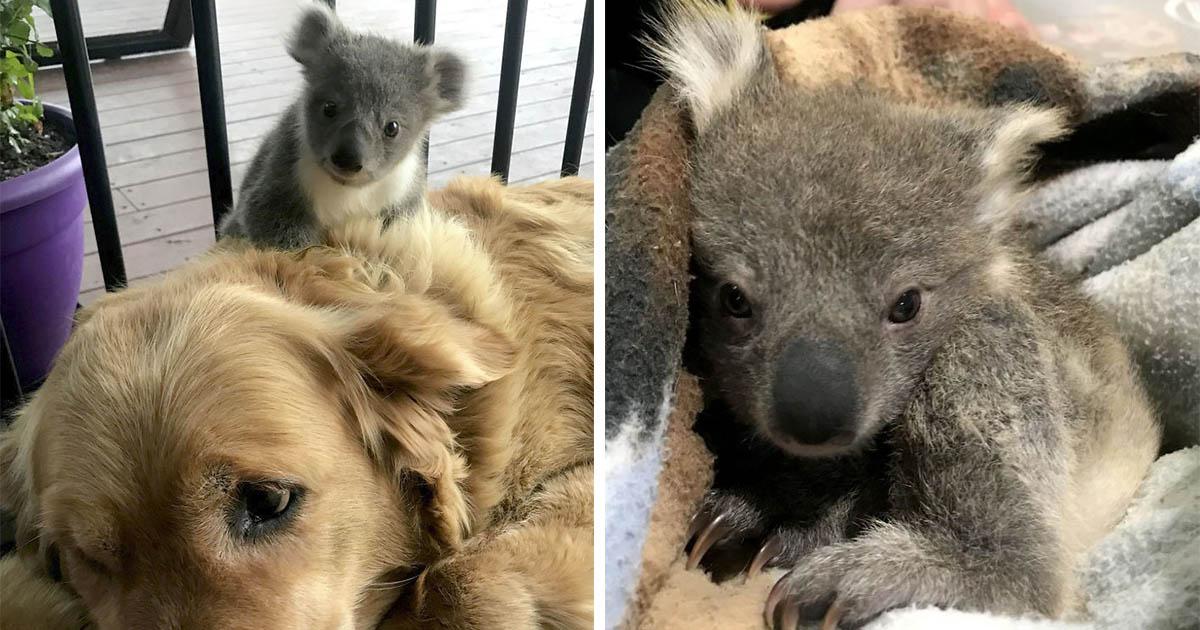 Golden retriever le salva la vida a un pequeño bebé koala