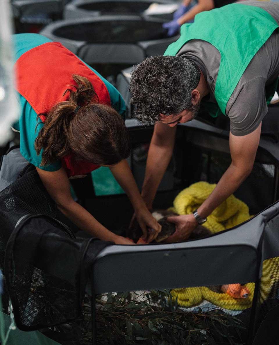 Grupo de personas brindan cuidados a koalas heridos
