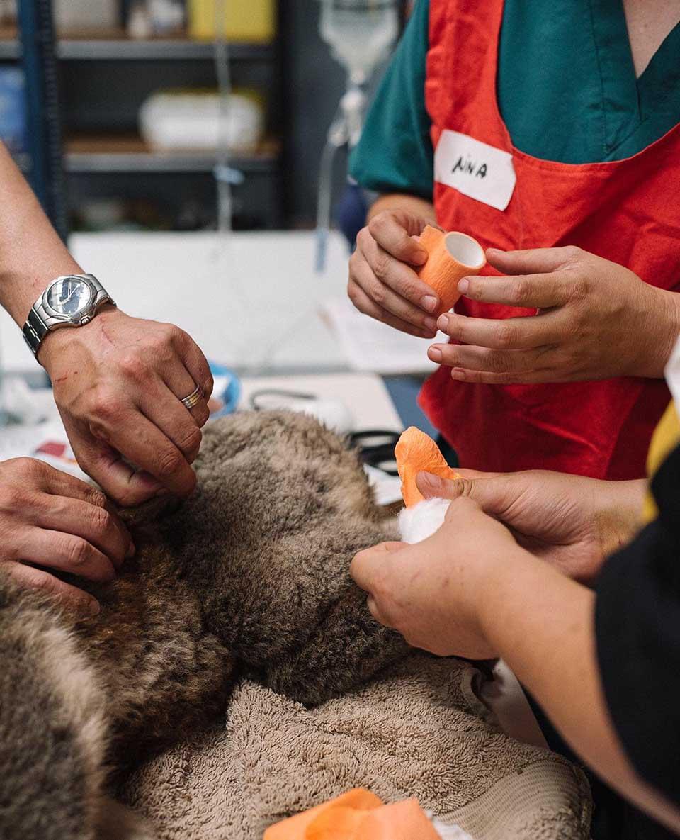 Grupo de personas vendan patas de un koala herido