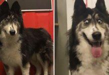 Husky bizca solo quiere que alguien la ame como es