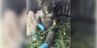 Koala Billy se quemó sus 4 patas en los incendios forestales está feliz de ser salvado