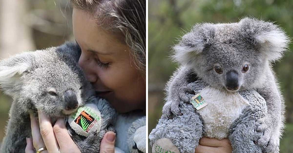 Koala bebé rescatada conmueve a todos en su primer día de preescolar