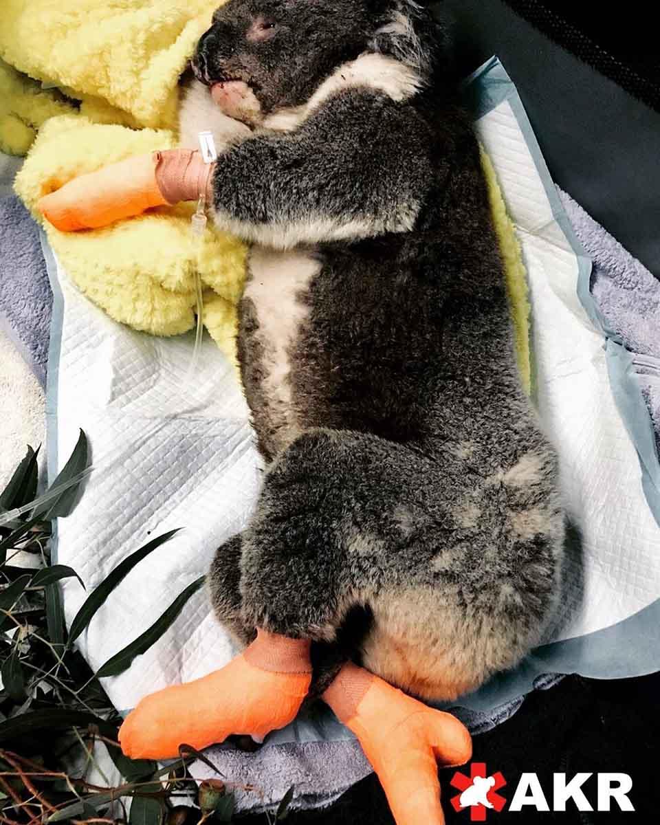 Koala con sus patas vendadas