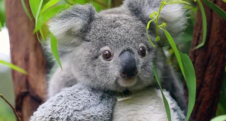 Koala elsa