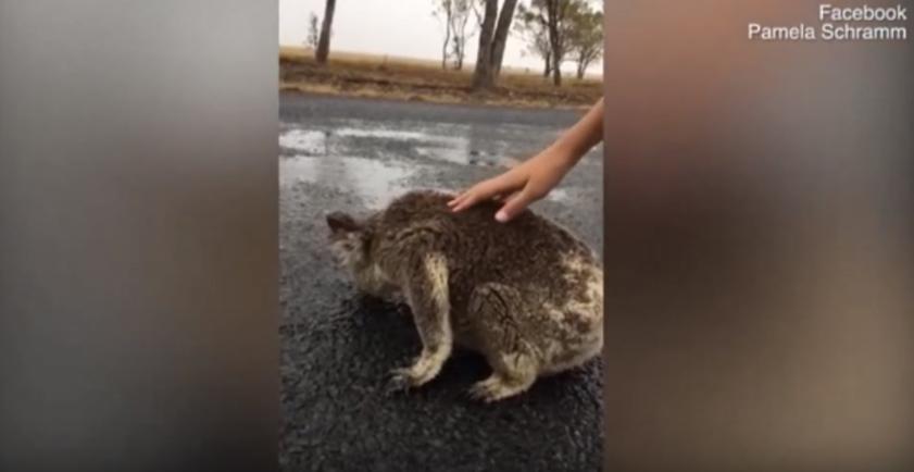 Koala en carretera
