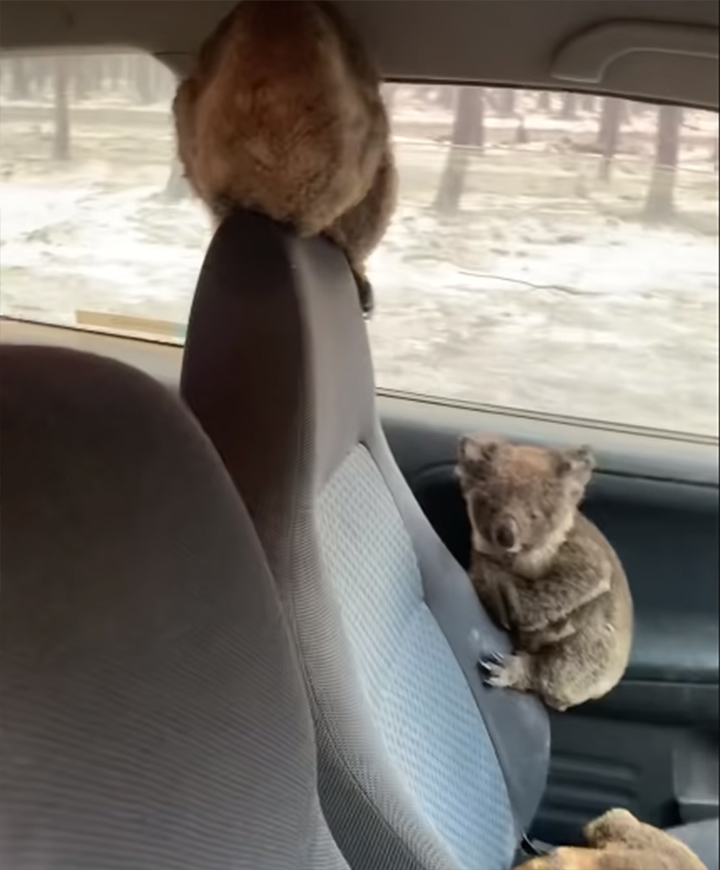 Koala en el auto