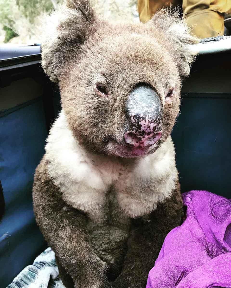 Koala herido