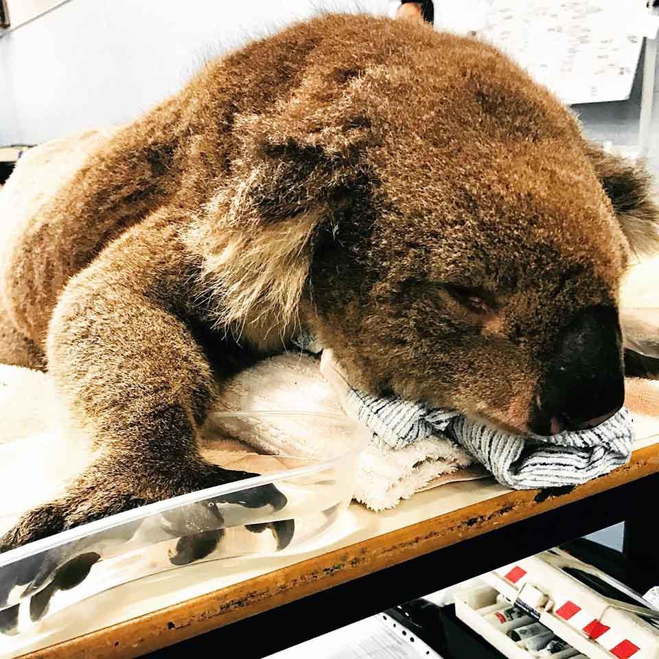 Koala herido por incendio forestal