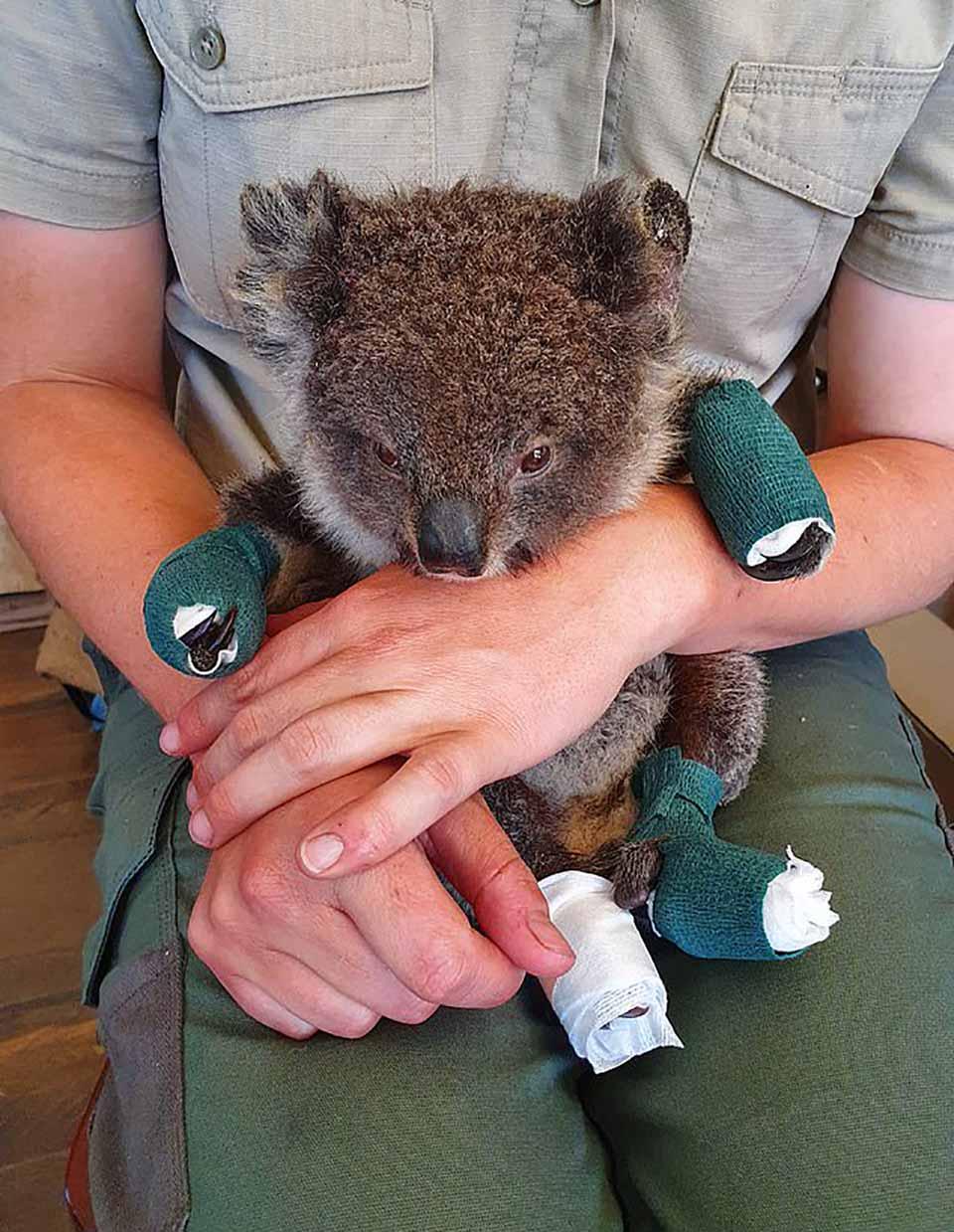 Koala herido por los incendios forestales