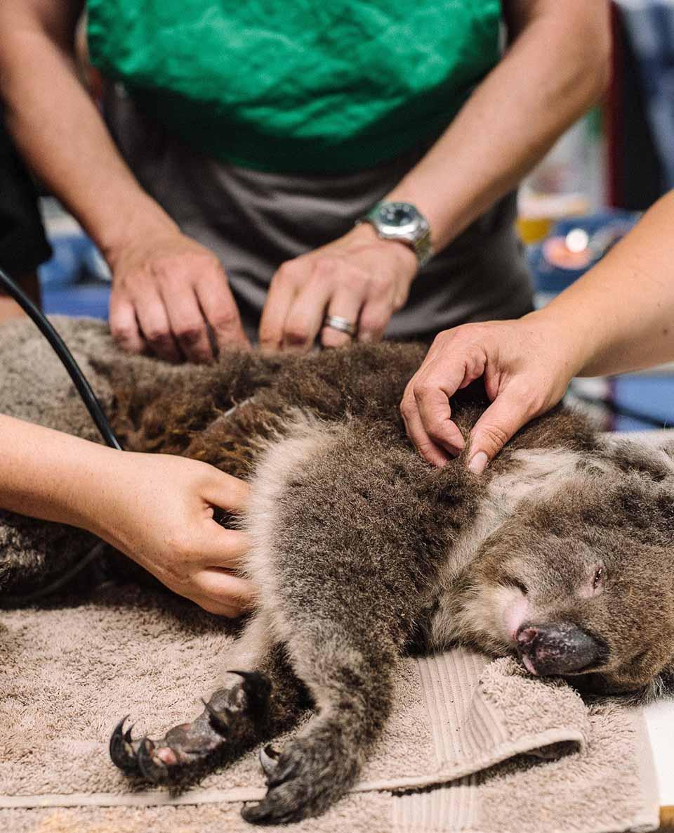 Koala herido recibe atención medica