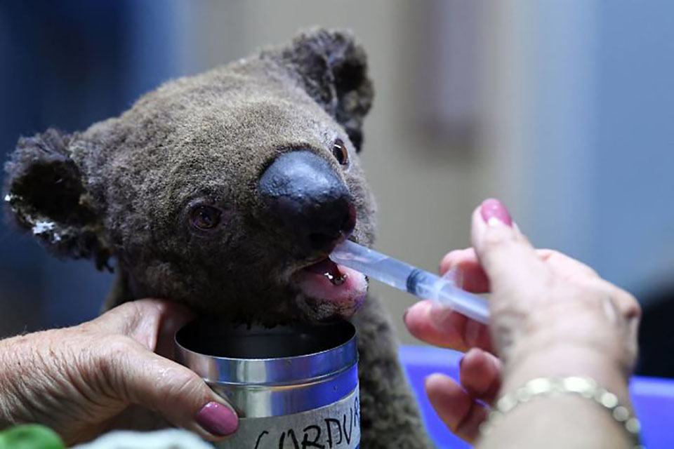 Koala recibe tratamiento en un hospital