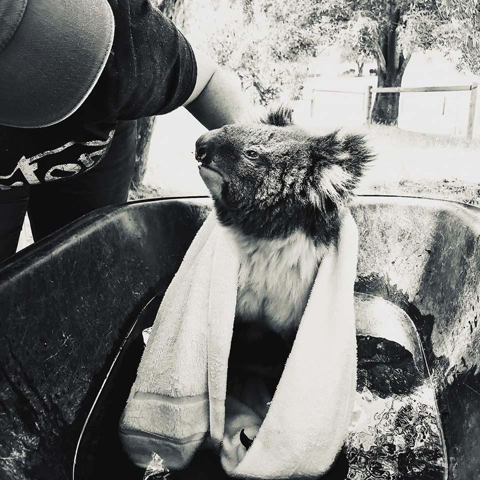 Koala rescatada