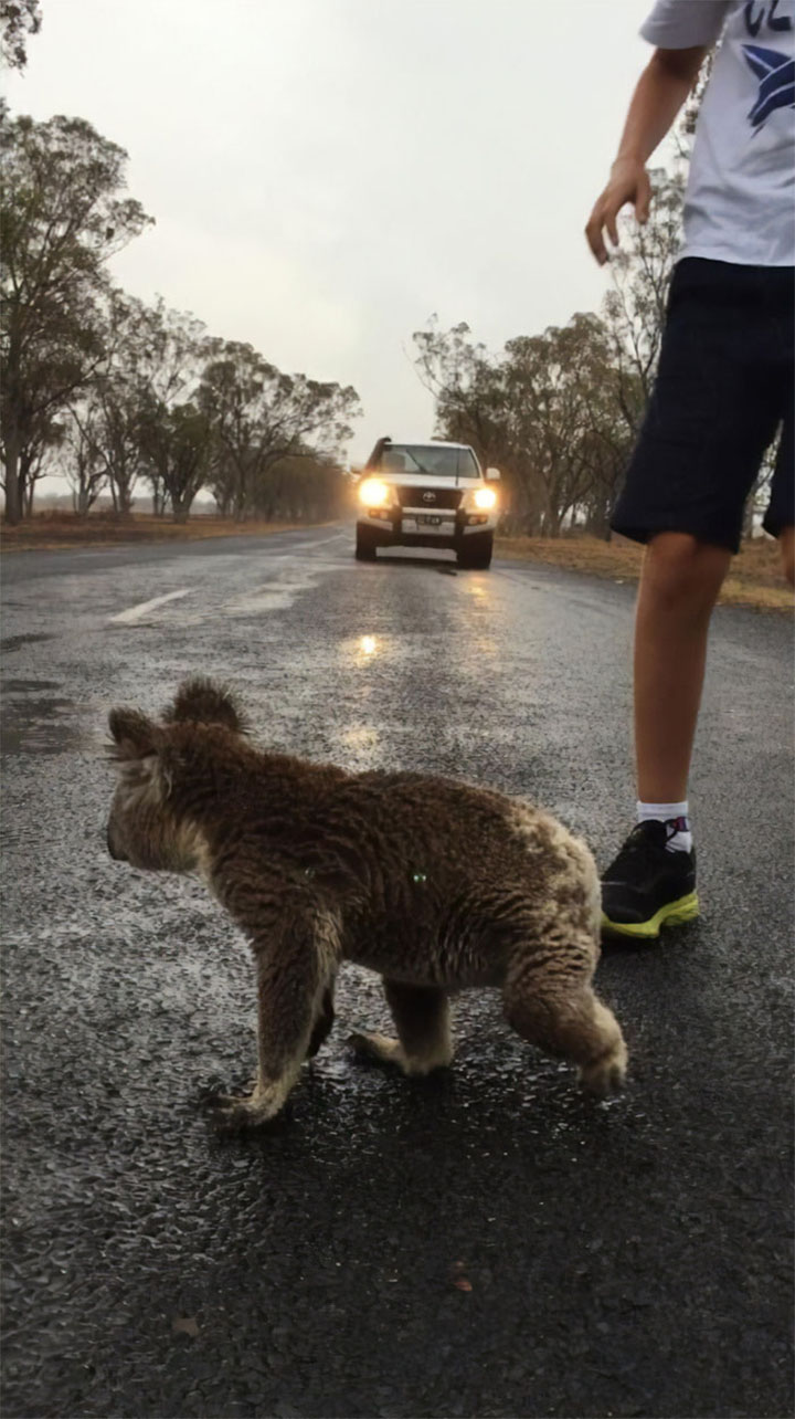 Koala sediento en carretera