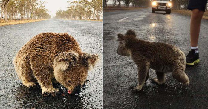 Koala sediento lame el agua lluvia de la carretera después del aguacero
