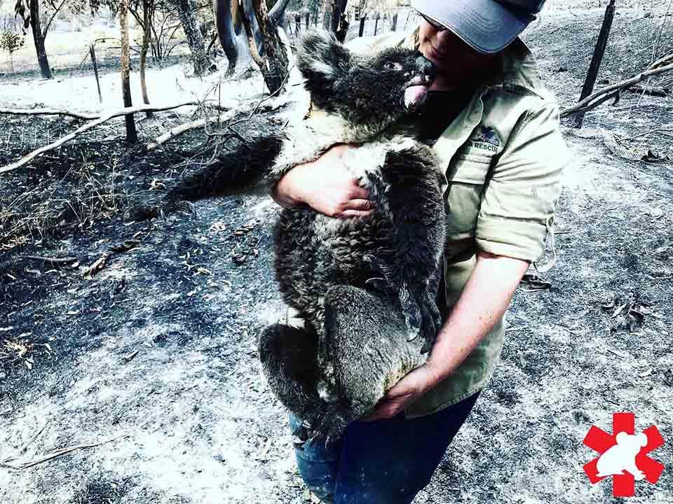 Koala siendo rescatada