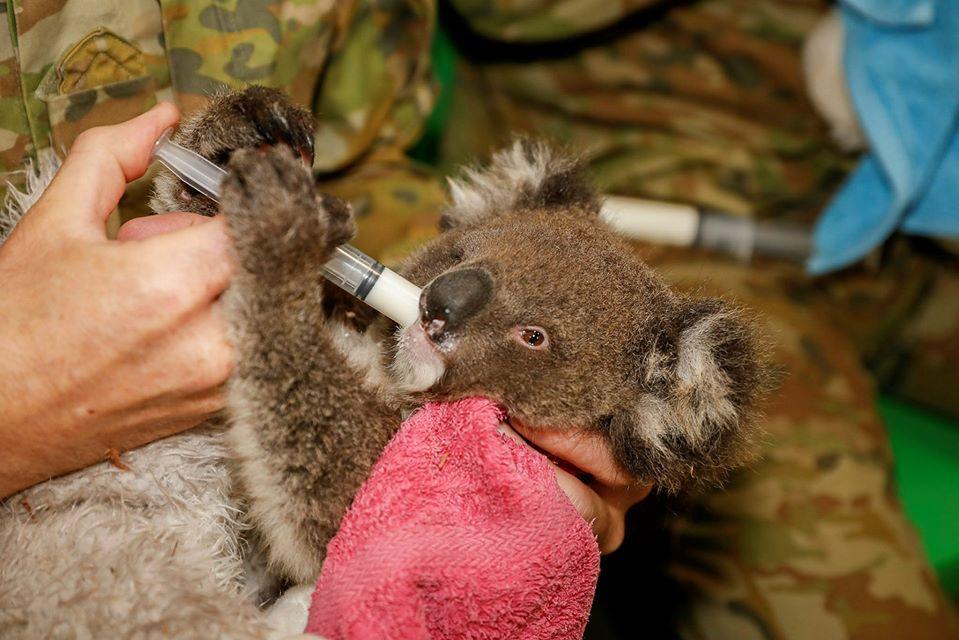 Koala tomando vitaminas